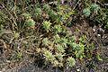 Haría Ye - Calle San Francisco Javier-LZ-201 - Euphorbia segetalis 01 ies.jpg