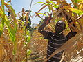 Harvesting sorghum in Port-au-Prince. Photo credit- SOIL (16593637862).jpg