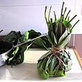 Haumania liebrechtsiana - leaf pouch for liboké.jpg