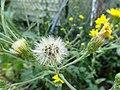 Hawkweed seed head.jpg