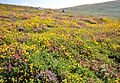 Heathland on Carn Galver.jpg