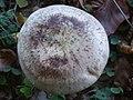 Hebeloma radicosum BW42 (1).jpg