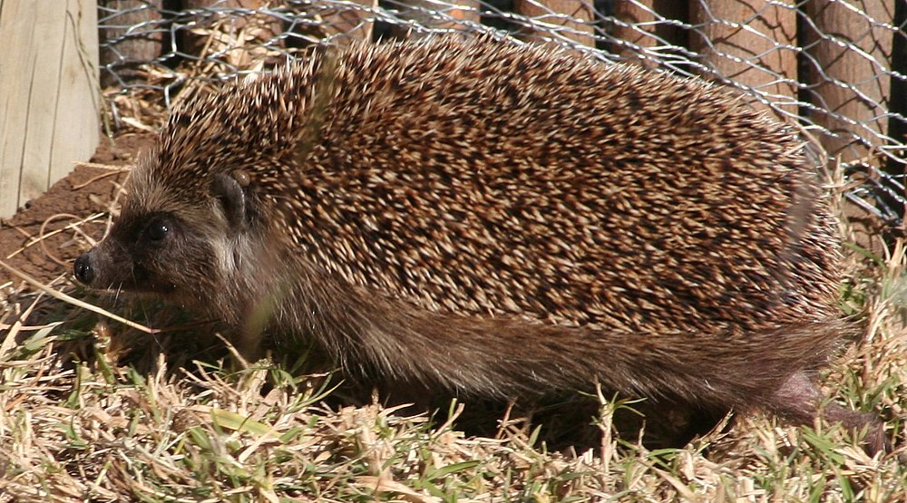 The average litter size of a Southern African hedgehog is 4