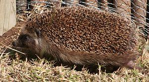 Southern African hedgehog