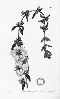 Sinicuichi (Heimia salicifolia), Illustration.
