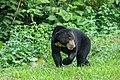 Helarctos malayanus, Sun bear - Kaeng Krachan National Park (50770053781).jpg