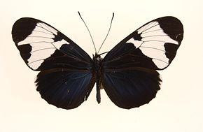 Description de l'image Heliconius sapph0.jpg.