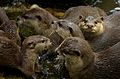Hello, Human... (SINGAPORE ZOO-OTTER-ANIMALS-GREETING) VIII (1341813905).jpg