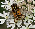Helophilus pendulus (Common Tiger Hoverfly) - Flickr - S. Rae (3).jpg