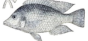 Description de l'image Hemitilapia-oxyrhynchus.jpg.