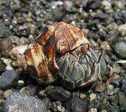 Land hermit crab sex