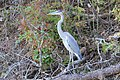 Heron at Douthat (7415097062) (2).jpg