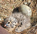 Herring Gull chick in nest with egg.jpg