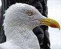 Herring gull seagull at Broadstairs, Kent, England 06.jpg