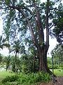 Hertage Tembusu Tree at Palm Valley 20130210.JPG