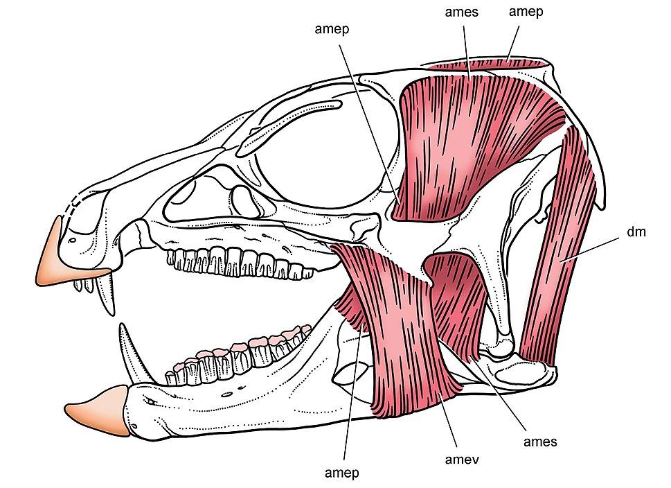 Heterodontosaurus jaw muscles