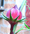 Hibiscus sabdariffa fruit.jpg