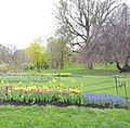 Hiding among the tulips in Washington Park (34226361214).jpg