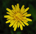 Hieracium January 2008-1.jpg