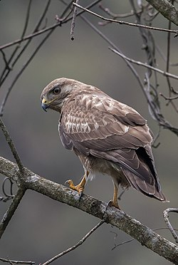 Himalayan Buzzard at Pangolakha.jpg