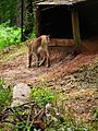 Hinterteil Eurasischer Luchs Wildpark Alte Fasanerie Klein-Auheim.JPG