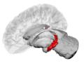 Hippocampus - DK ATLAS.png