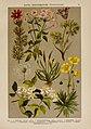 Hoffmann-Dennert botanischer Bilderatlas (Taf. 37) (6425000875).jpg