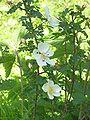 Hondsroos bloeiend (Rosa canina).jpg