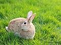 Honey bunny in the garden.jpg