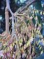 Hopea ponga flowers at Keezhpally (24).jpg