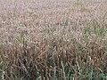 Hordeum vulgare field, Gerstveld.jpg