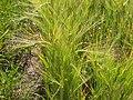 Horedum vulgare (3819802258).jpg