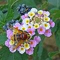 Hornet mimic hoverfly Volucella zonaria 1410393 Nevit.jpg