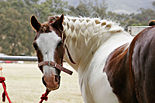 Horse with plaited mane.jpg
