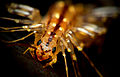 HouseCentipedeCloseup.jpg