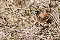 House Wren - Cucarachero Común (Troglodytes aedon albicans) (14265076116).jpg