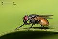 Housefly musca domestica.jpg