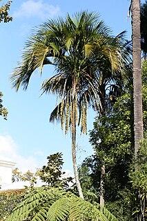 <i>Howea belmoreana</i> Species of palm