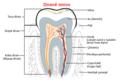 Human tooth ku.png