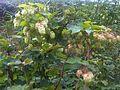 Humulus lupulus 4 - wetland 2011.08.16.jpg