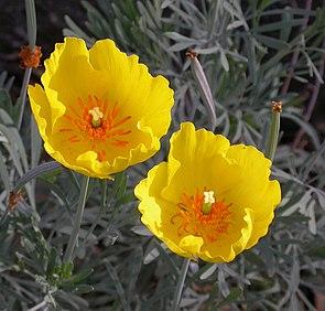 Mexikanischer Tulpenmohn (Hunnemannia fumariifolia )
