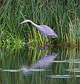 Hunting Heron (8050660328).jpg