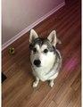 Husky de Sibérie de 3 ans et demi.pdf
