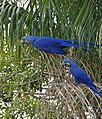 Hyacinth Macaws (Anodorhynchus hyacinthinus) feeding on palm nuts ... (28887841155).jpg