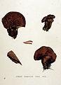 Hydnum scabrosum — Flora Batava — Volume v19.jpg