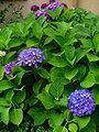 Hydrangea macrophylla 001.JPG