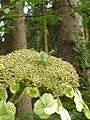 Hydrangea sargentiana - Burcina - Dettaglio.jpg