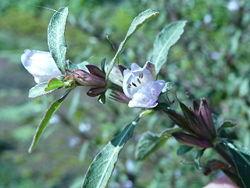 Hygrophila pogonocalyx.jpg