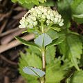 Hylotelephium verticillatum (bud s2).jpg