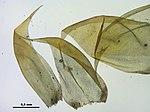 Hypnum lacunosum (d, 161516-480206) 3383.JPG